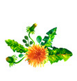 flowers dandelions watercolor vector image vector image