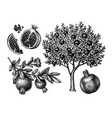 pomegranate tree ink sketch vector image vector image