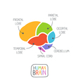 Human Brain Section vector image vector image