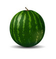 realistic full watermelon on white background vector image vector image