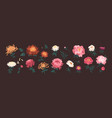 bundle blooming peonies and chrysanthemums vector image vector image