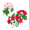 branches light pink and red flowers rhododendrons vector image vector image