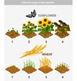 plant growth stage Sunflower and Wheat vector image vector image