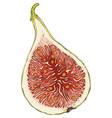 ripe fig in cross section vector image vector image
