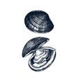 cooked atlantic surf clam edible molluscs shellf vector image