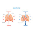 respiratory system human breathing airway vector image vector image