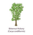 bitternut hickory icon flat style vector image vector image