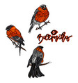 bullfinches on branches vector image vector image