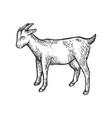 goat farm animal sketch engraving vector image vector image