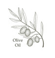 olive tree branch berries isolated vegetable vector image