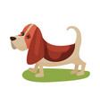 basset haund dog purebred pet animal standing on vector image
