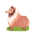 collie dog purebred pet animal standing on green vector image