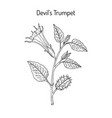 devil trumpet datura metel medicinal plant vector image vector image