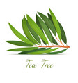 tea tree plant branch in realistic style vector image vector image