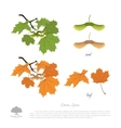 branch seeds and leaves maple vector image vector image