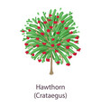 hawthorn icon flat style vector image vector image