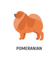 pomeranian or pom cute lovely purebred toy or lap vector image vector image