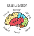 Human Brain Anatomy Sketch vector image