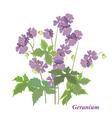 Bush geranium vector image vector image