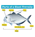 Diagram showing parts of giant trevally