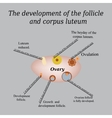 It shows the development of ovarian follicle and vector image vector image
