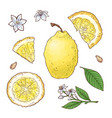 set of lemon fruits isolated elements for vector image