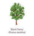 black cherry icon flat style vector image vector image