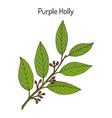 Purple holly ilex purpurea medicinal plant