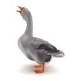 Grey domestic goose vector image