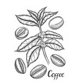 sketch of coffee branch vector image vector image