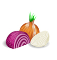 onions vector image vector image