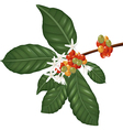 Coffe species branch with coffee berries and bloss vector image