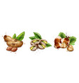 nuts set watercolor pistachio hazelnut vector image