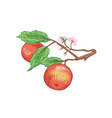 red apples on branch hand drawn vector image