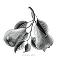 pears fruit hand drawing vintage engraving on vector image