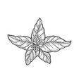 basil leaves plant sketch