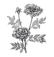 roses hand drawing vintage engraving on white vector image vector image