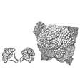 cauliflower hand drawn vector image