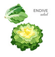 endive salad fresh organic vegetarian vegetable vector image