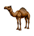 arabian camel from a splash watercolor colored