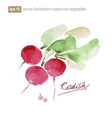 Red radish Watercolor vector image