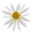 colorful naturalistic beautiful chamomile on white vector image