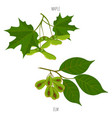 maple and elm leaves seeds green acer leaf vector image vector image