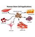Human Stem Cell Applications vector image vector image