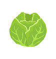 green cabbage head cartoon isolated icon vector image