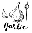 hand drawn sketch garlic group farm vegetables vector image