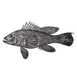 black sea bass vintage vector image vector image