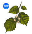 hand drawn hazelnut on branch vector image