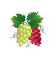 grapes on white background healthy lifestyle or vector image vector image