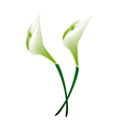 White Calla Lily Flowers or White Arum Lily Blosso vector image